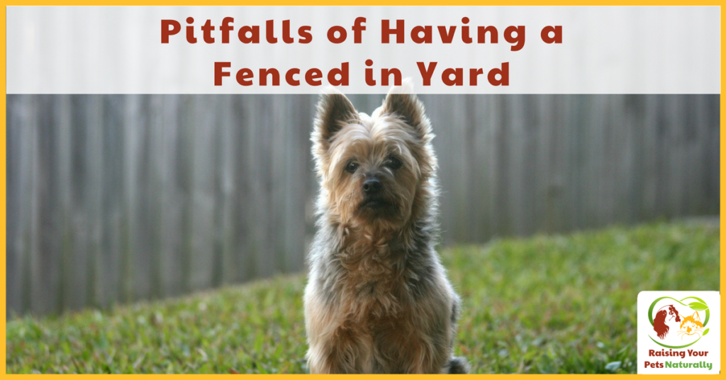 Pitfalls of having a fenced in yard for dogs. There are some precautions that a dog guardian should think about before unleashing their dog in their yard. #raisingyourpetsnaturally