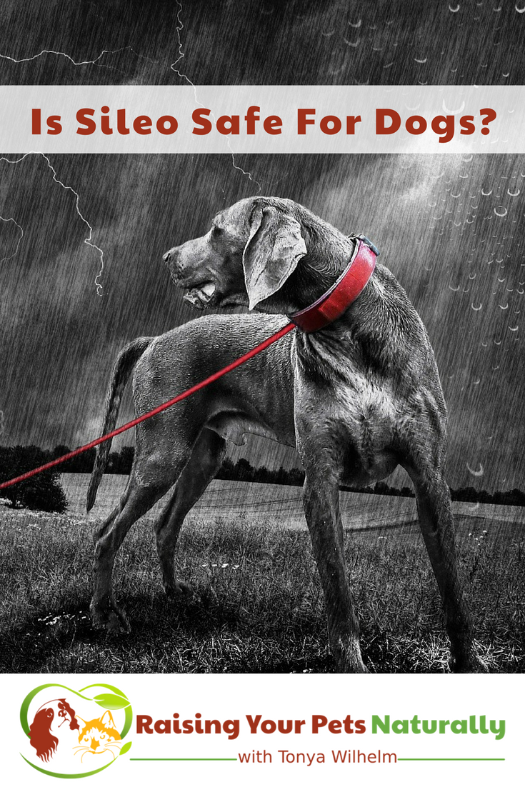 Do You Have a Dog Scared of Thunder? Dogs Scared of Storms May Have Been Scripted Sileo, But is Sileo Safe For Dogs? #raisingyourpetsnaturally
