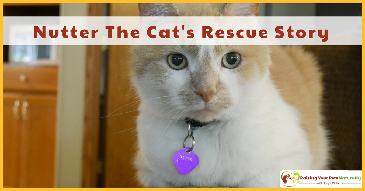Nutter The Cat's Rescue Story. Learn how I took a fearful stray cat and helped him turn into a valuable family member. #raisingyourpetsnaturally