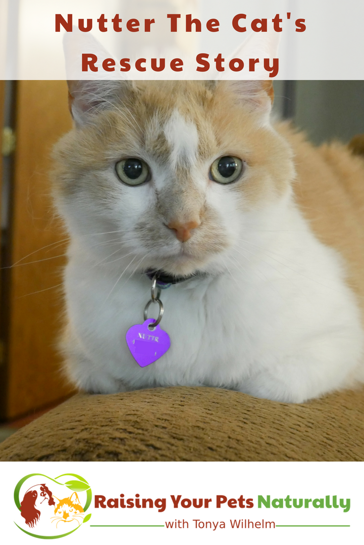 Nutter The Cat's Rescue Story. Learn how I took a fearful stray cat and helped him turn into a valuable family member. #raisingyourpetsnaturally #rescue #rescuecats #straycats #cats #orangecats