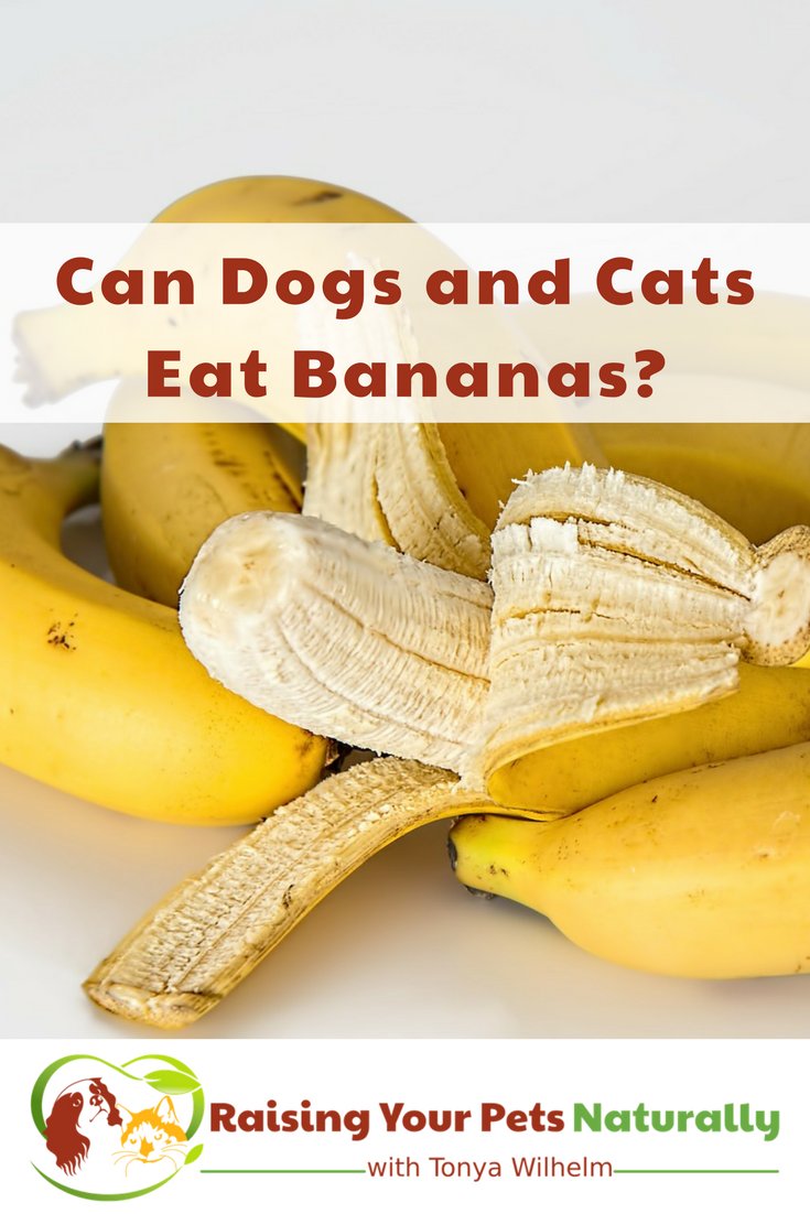Can dogs and cats eat bananas? Learn some of the health benefits of bananas for your pets and you. #raisingyourpetsnaturally