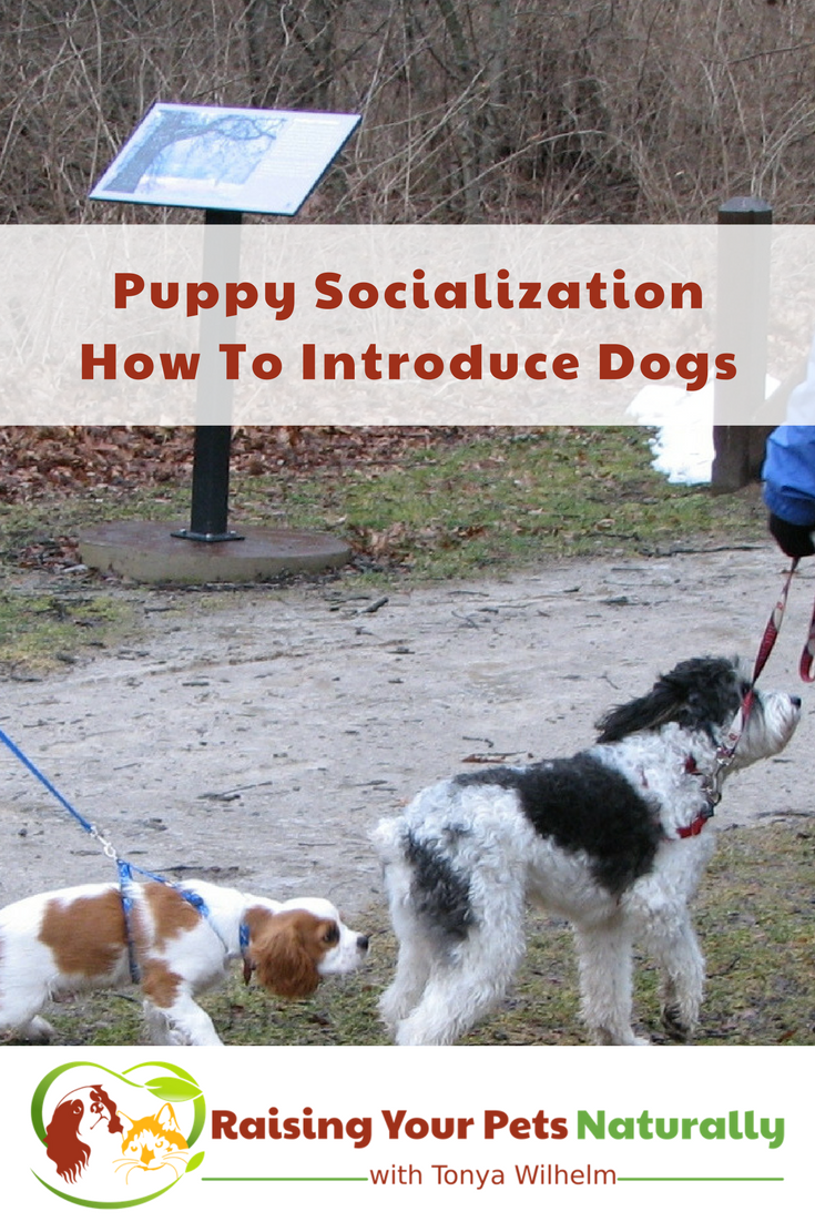 Puppy socialization is super important, but doing it right is key. Learn how to safely introduce your new puppy to other dogs. #raisingyourpetsnaturally