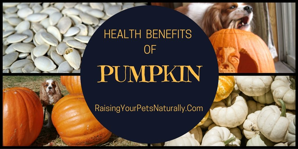 Is pumpkin healthy for dogs or cats? You bet! Because pumpkin is rich in fiber, it can help move those nasty hairballs through your cat's digestive tract. Pumpkins are high in the antioxidant beta carotene, which may help prevent cancer and heart disease.