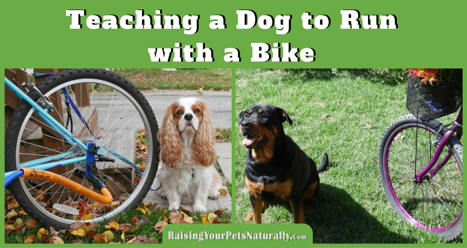 Introducing your dog to running with a bike: I feel this step is very important, and for some dogs it may actually take some time and practice. It really depends on the dog's confidence and focus on how long this step may actually take. The last thing you want to do is attach your dog to your bike and have him panic or see a squirrel and then both of you are on the ground. Go through each step below at your dog's pace. When he seems comfortable, go to the next step.