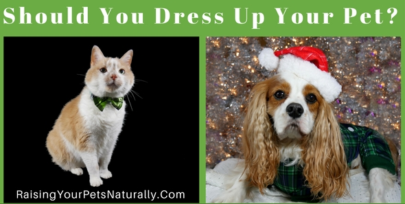 Should you dress up your dog or cat on Dress Your Pet Day? Well, that really depends on your pet. Here are three things to consider before grabbing a pet costume and slapping it on your helpless pet. #raisingyourpetsnaturally