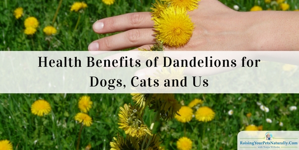 Health Benefits of Dandelions for Dogs, Cats and Us. Thehealth benefits of dandelionsare vast. Dandelions can help fight heartburn, cancer, liver disorders, urinary tract infections, inflammation, and even acne. Dandelions are also good for bone health and weight-loss, and aid in digestion. They are a good source of fiber, potassium, vitamin A, and vitamin C.
