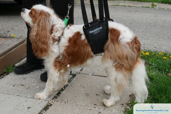 GingerLead support sling for male dogs