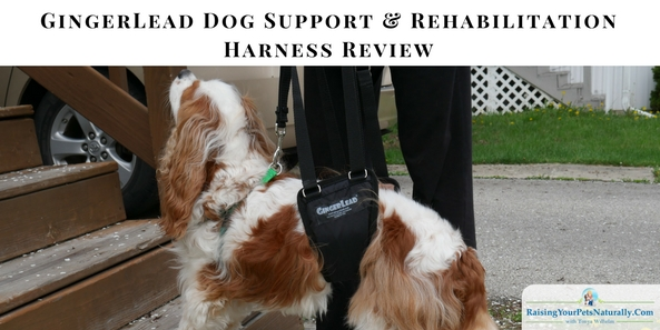 GingerLead Reivew. GingerLead is a brand I have been familiar with over my career, so I reached out to GingerLead regarding their rear support sling. I have seen dogs benefit from the support and aid of a GingerLead, and I felt this might be a great product to have on hand for Dexter when the need arises.