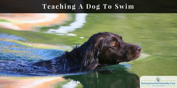 Learn how to teach your dog to swim with confidence. Please don't push him into the water, do these steps instead. #raisingyourpetsnaturally