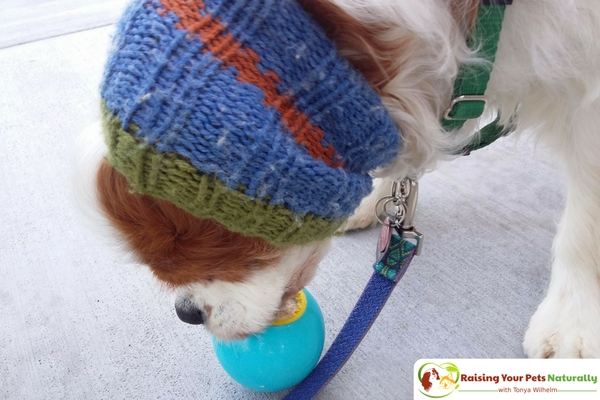 Vanilla dog ice cream recipe that you can share. Learn how to make this healthy homemade doggie ice cream right in your own kitchen. #raisingyourpetsnaturally