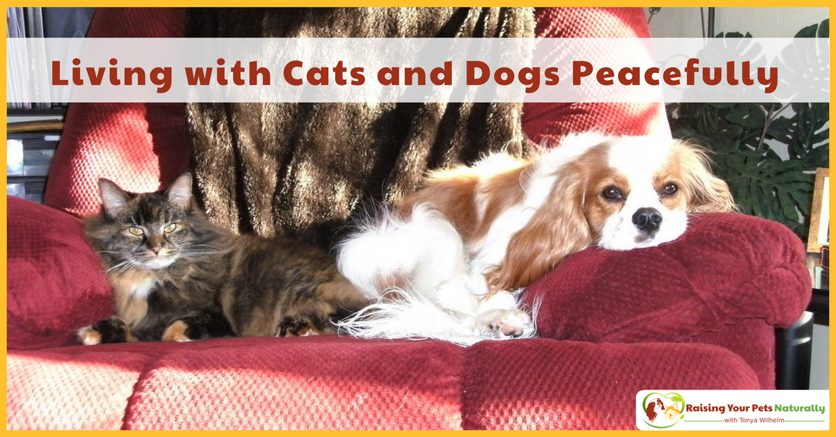 Living with Cats and Dogs | Cats and Dog Play, Chasing, Fighting and Dog Eating Cat Poop, Oh, My! #raisingyourpetsnaturally