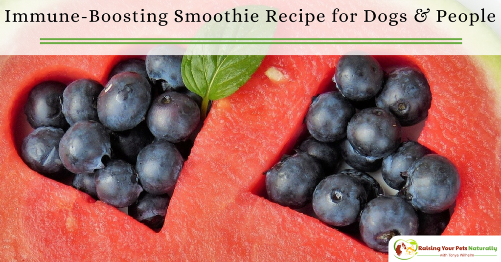 Berry Immune Boosting Dog Smoothie Recipe to Share. This masic smoothie recipe is a great choice if you and your dog need an immune boost. #raisingyourpetsnaturally