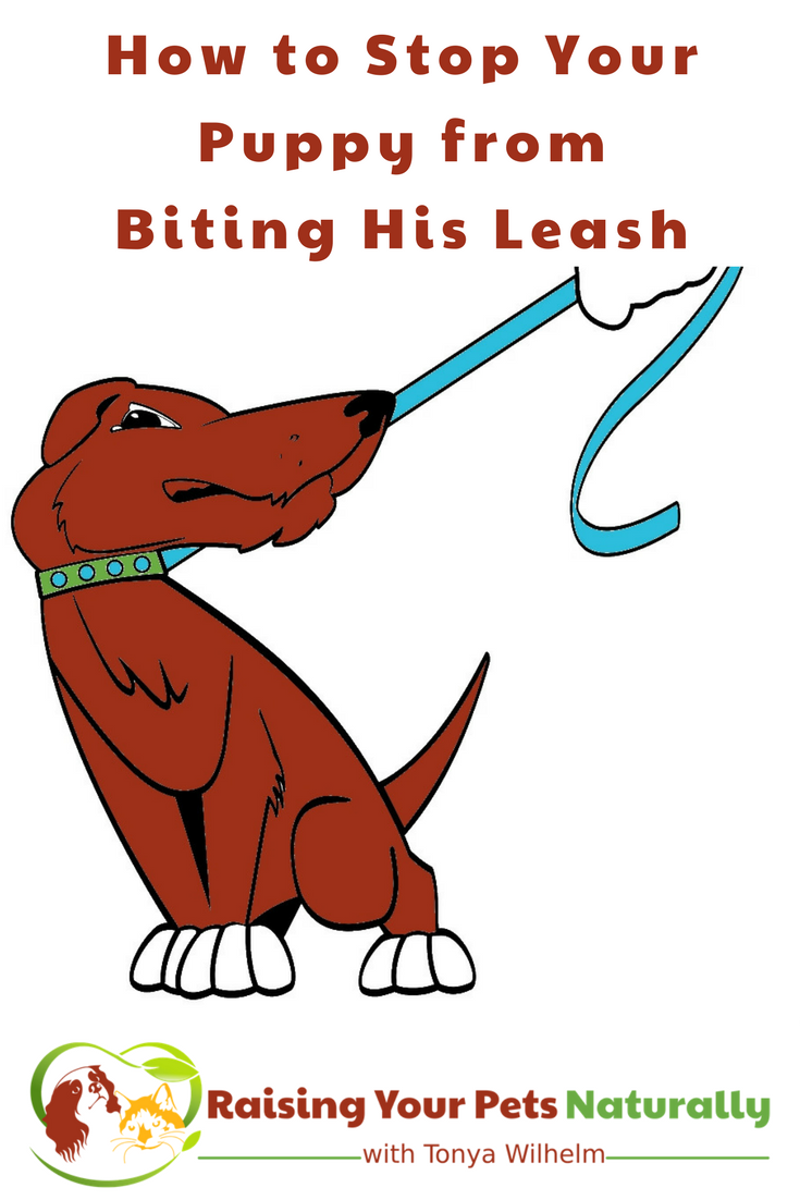 Leash Training a Puppy That Bites the Leash. If your dog bites the leash, learn how to train him not to bite the leash. #raisingyourpetsnaturally #puppytraining #chewproofleash #dogtraining #leashtraining
