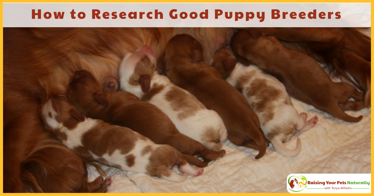 How to research a good dog breeder and what questions to ask a dog breeder before buying a puppy. #raisingyourpetsnaturally
