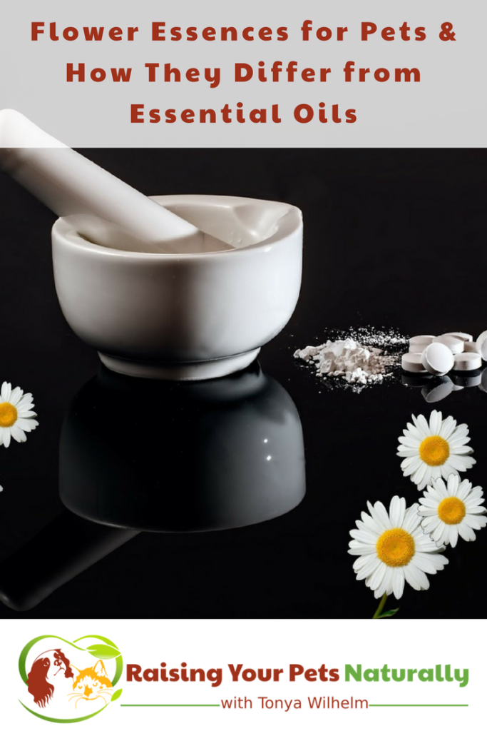 Understanding Flower Essences for Pets and How They Differ from Essential Oils for Pets. Most pet parents think that flower essences are essential oils, which they are not—they are actually quite different. Learn more. #raisingyourpetsnaturally #herbsforpes #naturaldog #naturalpets #essentialoilsforpets