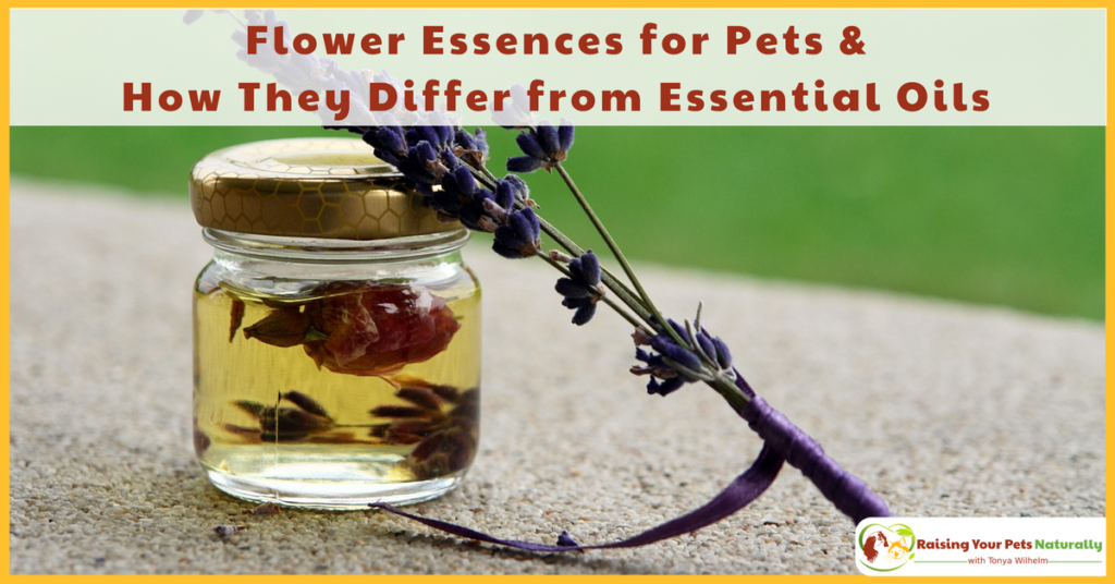 Understanding Flower Essences for Pets and How They Differ from Essential Oils for Pets. Most pet parents think that flower essences are essential oils, which they are not—they are actually quite different. Learn more. #raisingyourpetsnaturally