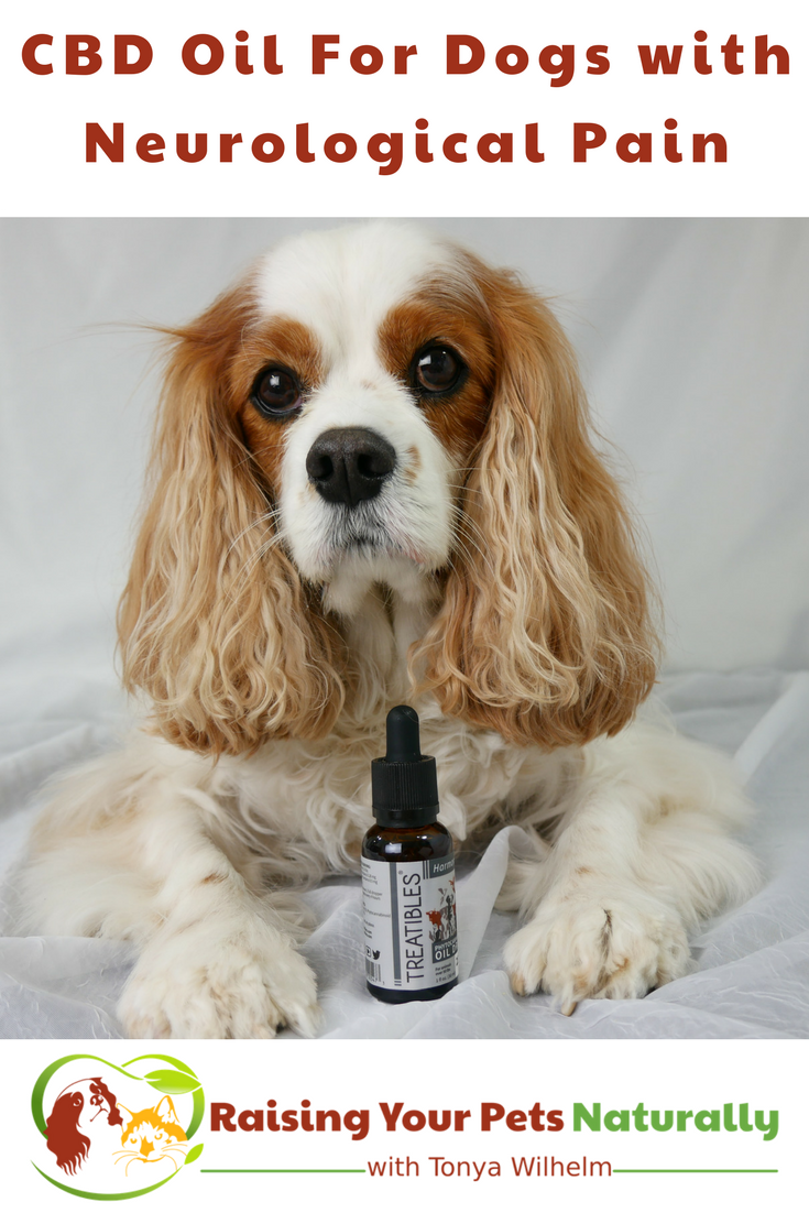 CBD Oil (Phytocannabioind Rich-PCR)For Dogs with Neurological Pain. Dexter's canine rehabilitation veterinarian, prescribed Phytocannabinoid-Rich (PCR) Oil twice a day. Learn why and how it may help your dog's pain. #raisingyourpetsnaturally #cbd #cbdoil #cbdoilfordogs #potforpets #hempfordogs