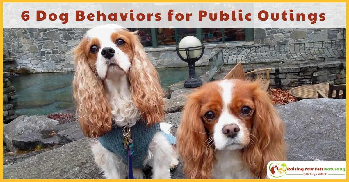 How to help your dog behave better in public. Have you ever been a little embarrassed by your dog's behavior in public? My top 6 Favorite Dog Behaviors for Public Outings. #raisingyourpetsnaturally