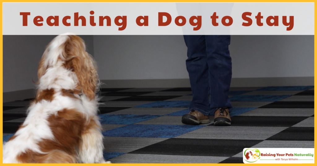 Learn How to Teach a Dog to Stay in Place or Wait. The following positive dog training technique is an excellent way to build a reliable and relaxed stay. #raisingyourpetsnaturally