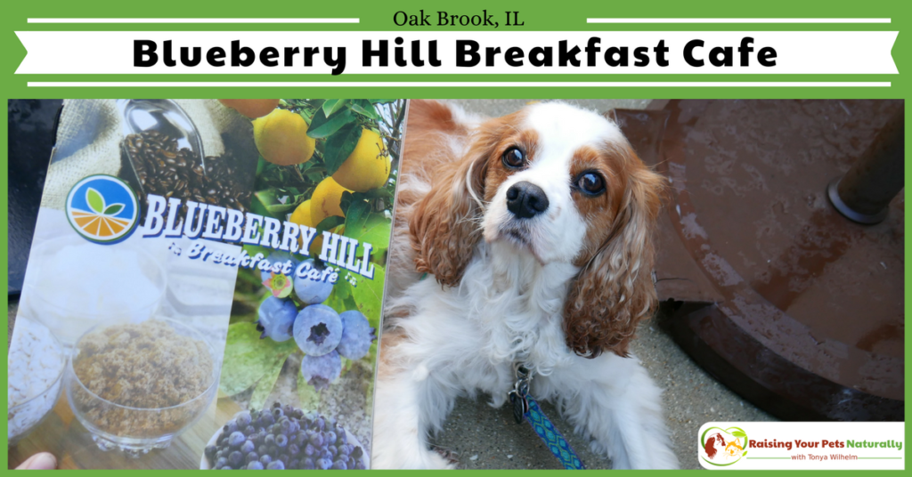 Dog-Friendly Restaurants in The Chicago Area. Blueberry Hill Breakfast Cafe Review. Blueberry Hill Cafe's friendly, family atmosphere was combined with great prices and exceptional food! #raisingyourpetsnaturally
