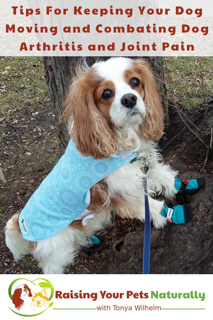 Tips For Keeping Your Dog Moving and Combating Dog Arthritis and Joint Pain. Natural care for your senior or special needs dog. #raisingyourpetsnaturally #seniordogs #olddogs #dogarthritis