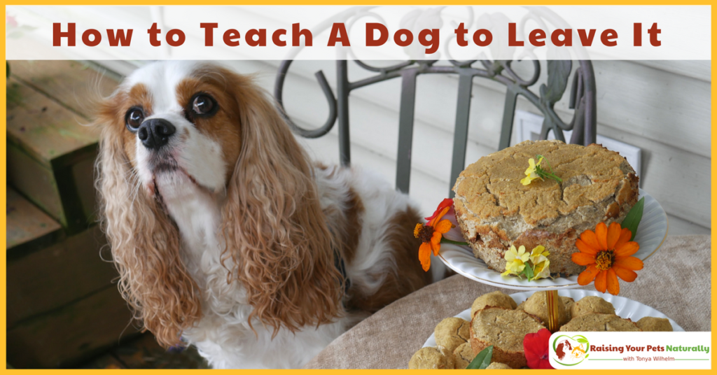 Learn how to teach a dog to leave it. Teaching your dog to leave it or ignore something on your cue can be lifesaving. #raisingyourpetsnaturally
