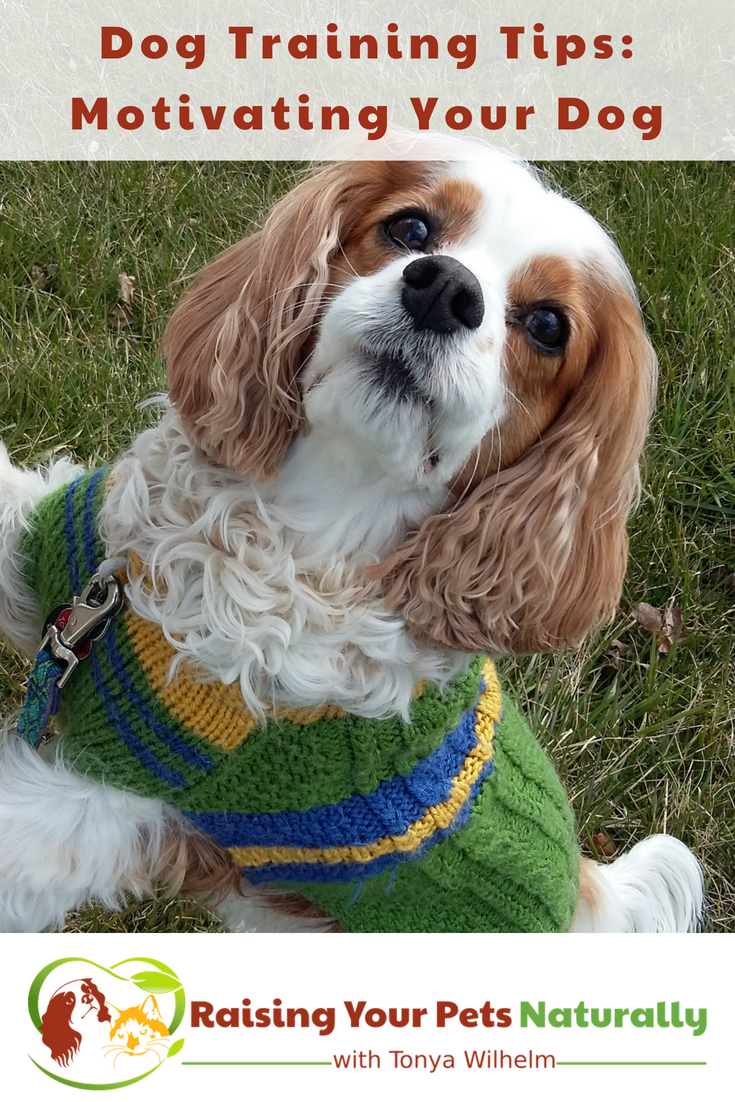 Positive Reinforcement Dog Training Tips. Learn how to motivate your dog in dog training. #raisingyourpetsnaturally #dogtraining #dogtrainingtips #dogbehavior #bestdogtrainingbooks #creativedogtraining