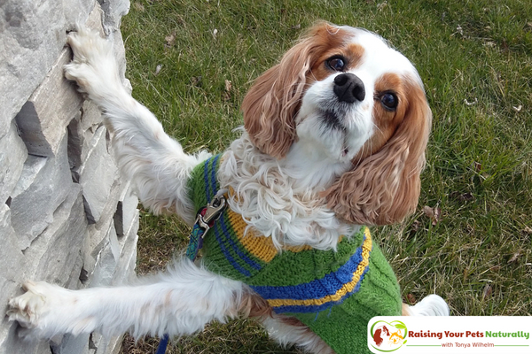 How to Stop Attention Seeking Behavior and Dog Barking. Learn why dogs bark for attention and how to train a dog to stop barking. #raisingyourpetsnaturally
