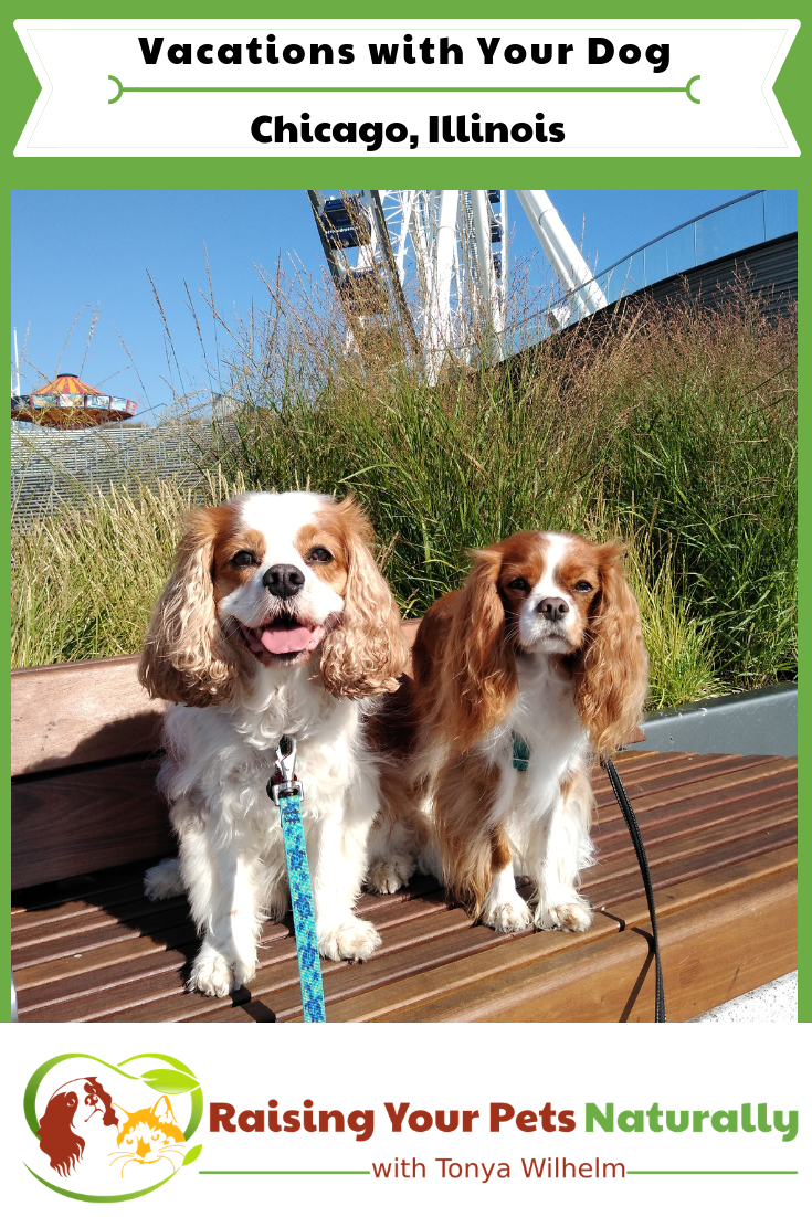 Dog-friendly Chicago, Illinois Vacations. Check out my Chicago road trip with Dexter The Dog. Dog-Friendly Activities in Chicago at your fingertips. #raisingyourpetsnaturally #dogfriendlyvacations #petfriendlyvacations #roadtripwithdog #dogfriendlychicago