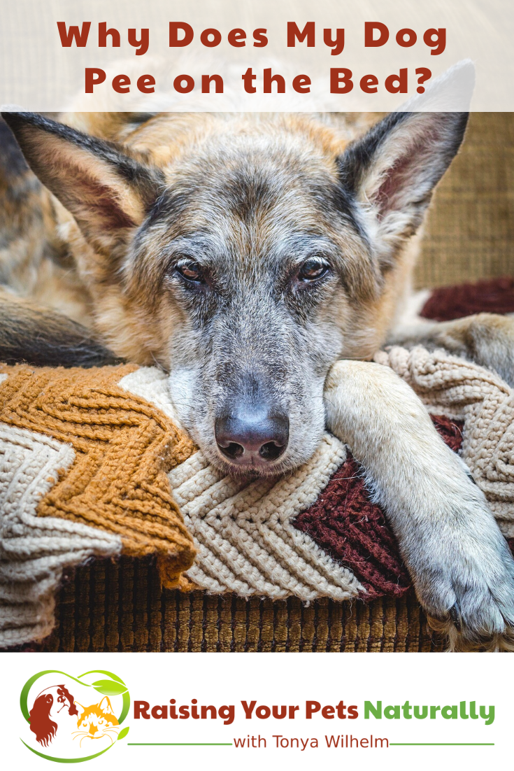My Dog Peed on My Bed: | When a Dog Suddenly is Urinating in the House