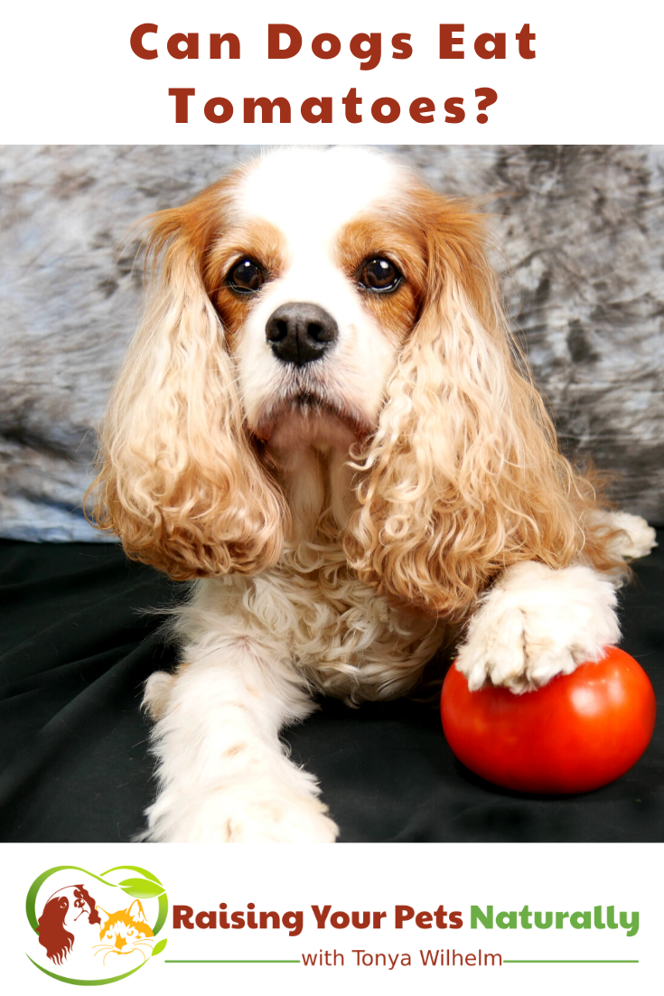 Can Dogs Eat Tomatoes? Should Dogs Eat Tomatoes (Early access for our Patreon community)