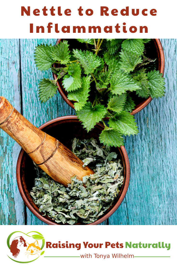 Stinging Nettle for Dogs   Reduces Inflammation and Seasonal Allergies (Early access for our Patreon community)