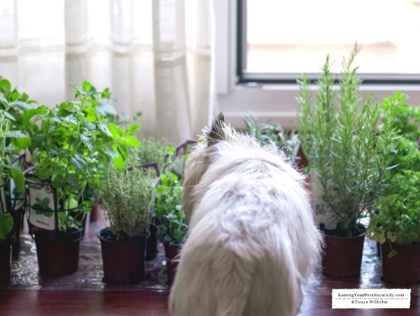 Herbs for fearful dogs