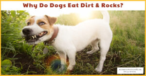 Why Do Dogs Eat Dirt and Rocks? | Why Does my Puppy Eat Dirt and Rocks? (Early access for our Patreon community)