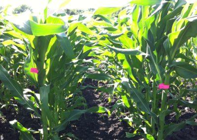 Developing High-yielding hybrids
