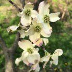 Dogwoodflowers