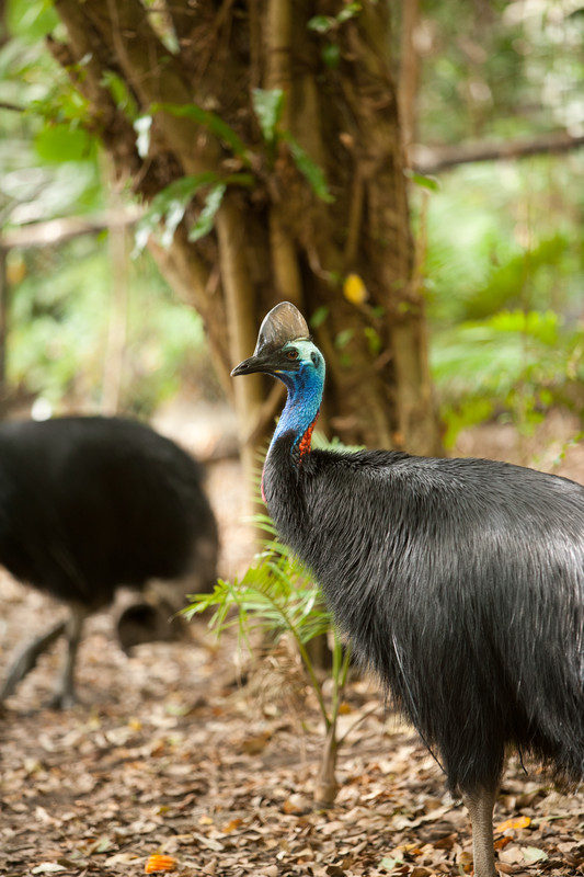 We saw the cassowaries every day... to the delight of most :-)