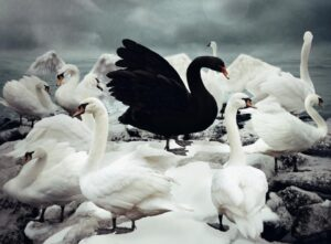 black goose amongst white geese