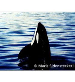 Adopt a Whale and Vaquita