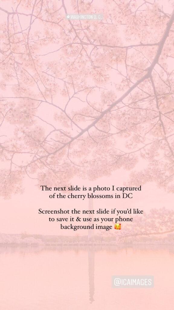 Washington DC Cherry Blossom tips
