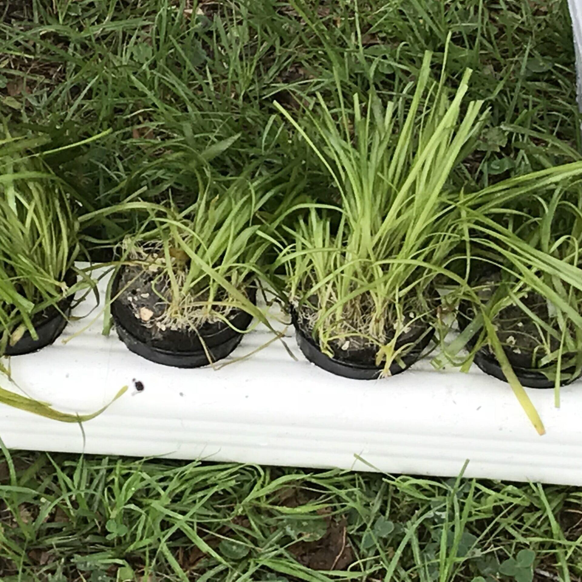 eelgrass cultivation