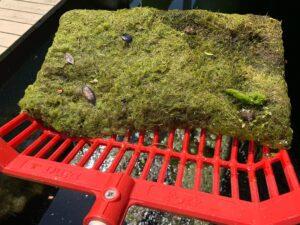 nitrate lyngbya homosassa river fertilizer algae
