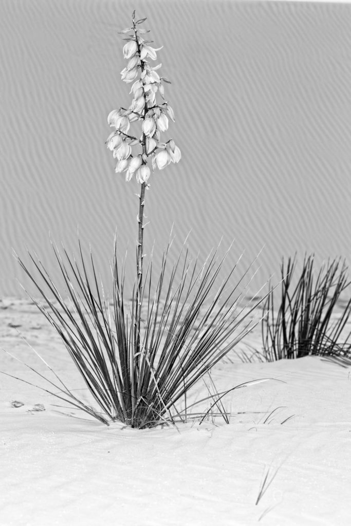 Black and white yucca at White Sands
