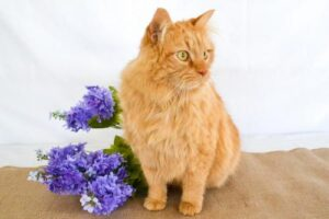 A long-haired orange cat poses with some purple flowers