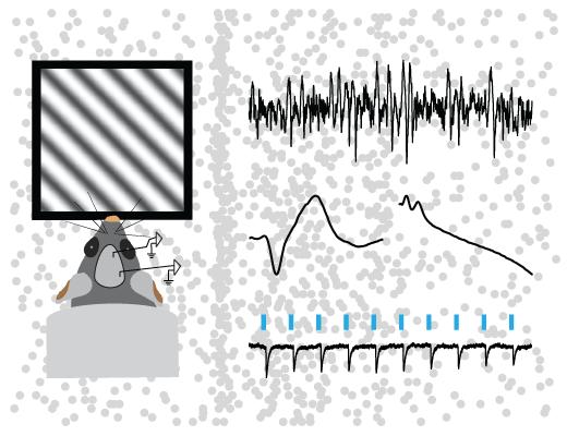 Sensory processing and plasticity in prefrontal cortex