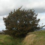 Hill of Tara Fairy Tree — P9110258