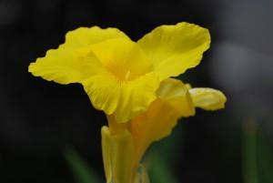 big island hawaii yellow flower