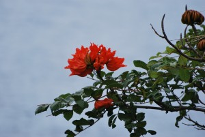big island hawaii red flowering tree