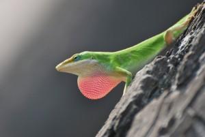 big island hawaii lizard