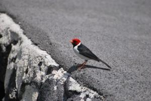 big island hawaii red-capped cardinal